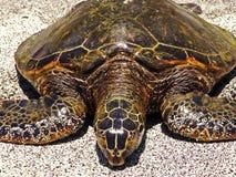 Tartaruga de mar havaiana Fotos de Stock