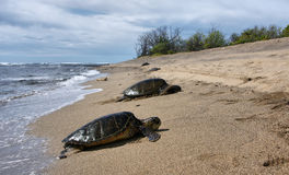 Tartaruga de mar havaiana na praia Imagem de Stock