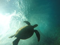 Tartaruga de mar havaiana que nada debaixo d'água Foto de Stock Royalty Free