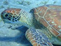 Tartaruga de mar na parte inferior Fotografia de Stock Royalty Free