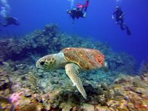 Tartaruga de mar nas ilhas da baía de Belize fotografia de stock