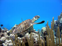Tartaruga de mar pequena bonita Fotos de Stock Royalty Free