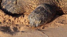 Tartaruga de mar posta em perigo que descansa na praia, Oahu, Havaí, EUA vídeos de arquivo
