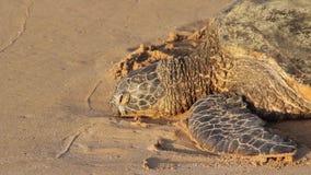 Tartaruga de mar posta em perigo que descansa na praia, Oahu, Havaí, EUA video estoque
