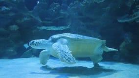 Tartaruga de mar que nada debaixo d'água no oceanarium filme