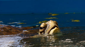 Tartaruga de mar que respira Foto de Stock Royalty Free