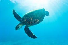 Tartaruga de mar retroiluminada Foto de Stock