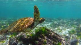 Tartaruga de mar selvagem que nada debaixo d'água em Galápagos filme