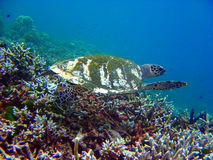 Tartaruga de mar subaquática 3 Fotografia de Stock