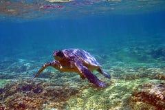 Tartaruga de mar subaquática em Havaí fotografia de stock royalty free