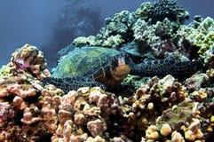 Tartaruga de mar verde foto de stock