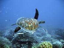 Tartaruga de mar verde Foto de Stock Royalty Free