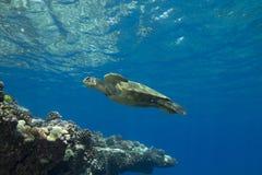 Tartaruga de mar verde Fotografia de Stock Royalty Free