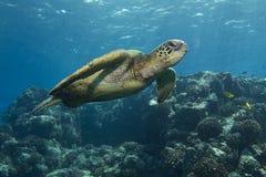 Tartaruga de mar verde Imagens de Stock Royalty Free