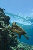 Tartaruga de mar verde Fotografia de Stock