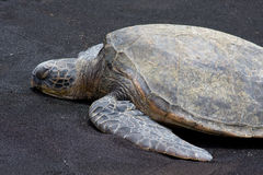 Tartaruga de mar verde 3 fotografia de stock royalty free
