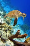 Tartaruga de mar verde Fotos de Stock Royalty Free