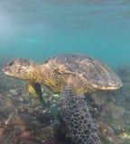 Tartaruga de mar verde Imagens de Stock