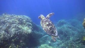 A tartaruga de mar verde ascensão à superfície para respirar filme