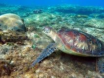 A tartaruga de mar verde come a grama do mar entre corais Imagem de Stock