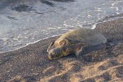 Tartaruga de mar verde do sono na praia Fotografia de Stock Royalty Free