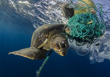 Tartaruga de mar verde, Galápagos fotos de stock royalty free