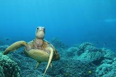Tartaruga de mar verde havaiana fotografia de stock royalty free