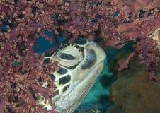 Tartaruga de mar verde masculina grande entre corais de Bali imagem de stock