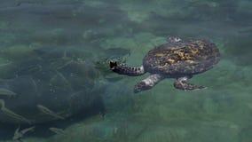 Tartaruga de mar verde no obervatório subaquático Marine Park em Eilat, Israel filme