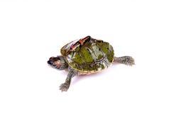 Tartaruga de passeio Fotografia de Stock Royalty Free