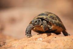 Tartaruga de rastejamento Imagens de Stock