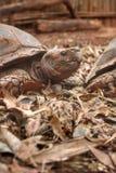 Tartaruga de rastejamento Fotografia de Stock