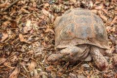 Tartaruga de rastejamento Fotografia de Stock Royalty Free