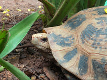 Tartaruga de rastejamento Fotos de Stock Royalty Free