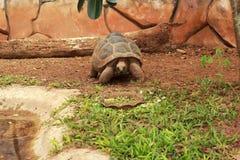 Tartaruga de rastejamento na natureza Fotografia de Stock