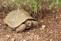 Tartaruga de rastejamento na natureza Foto de Stock