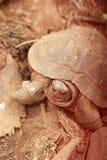 Tartaruga de rastejamento na natureza Imagens de Stock Royalty Free