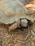 Tartaruga de rastejamento na natureza Fotografia de Stock Royalty Free