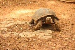 Tartaruga de rastejamento na natureza no jardim zoológico Foto de Stock