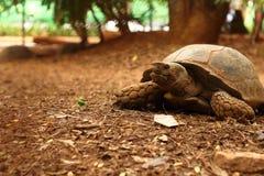 Tartaruga de rastejamento no parque Imagens de Stock