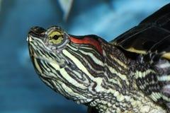 Tartaruga de Redeared Fotografia de Stock