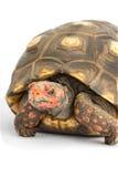 Tartaruga de Redfoot Fotografia de Stock Royalty Free