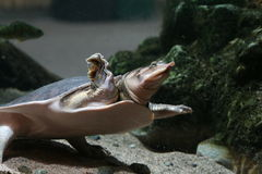 Tartaruga de Softshell Fotos de Stock Royalty Free