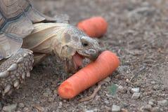 Tartaruga de Sulcata Fotografia de Stock