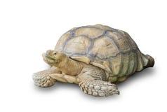 Tartaruga de Sulcata isolada no fundo branco Imagens de Stock