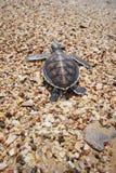 Tartaruga del bambino Immagini Stock