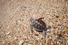 Tartaruga del bambino Immagine Stock
