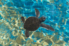 Tartaruga del bambino Fotografie Stock