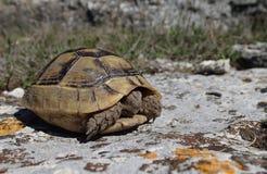 Tartaruga del bambino nella primavera Immagine Stock Libera da Diritti