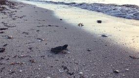 Tartaruga del bambino sulla riva della spiaggia video d archivio